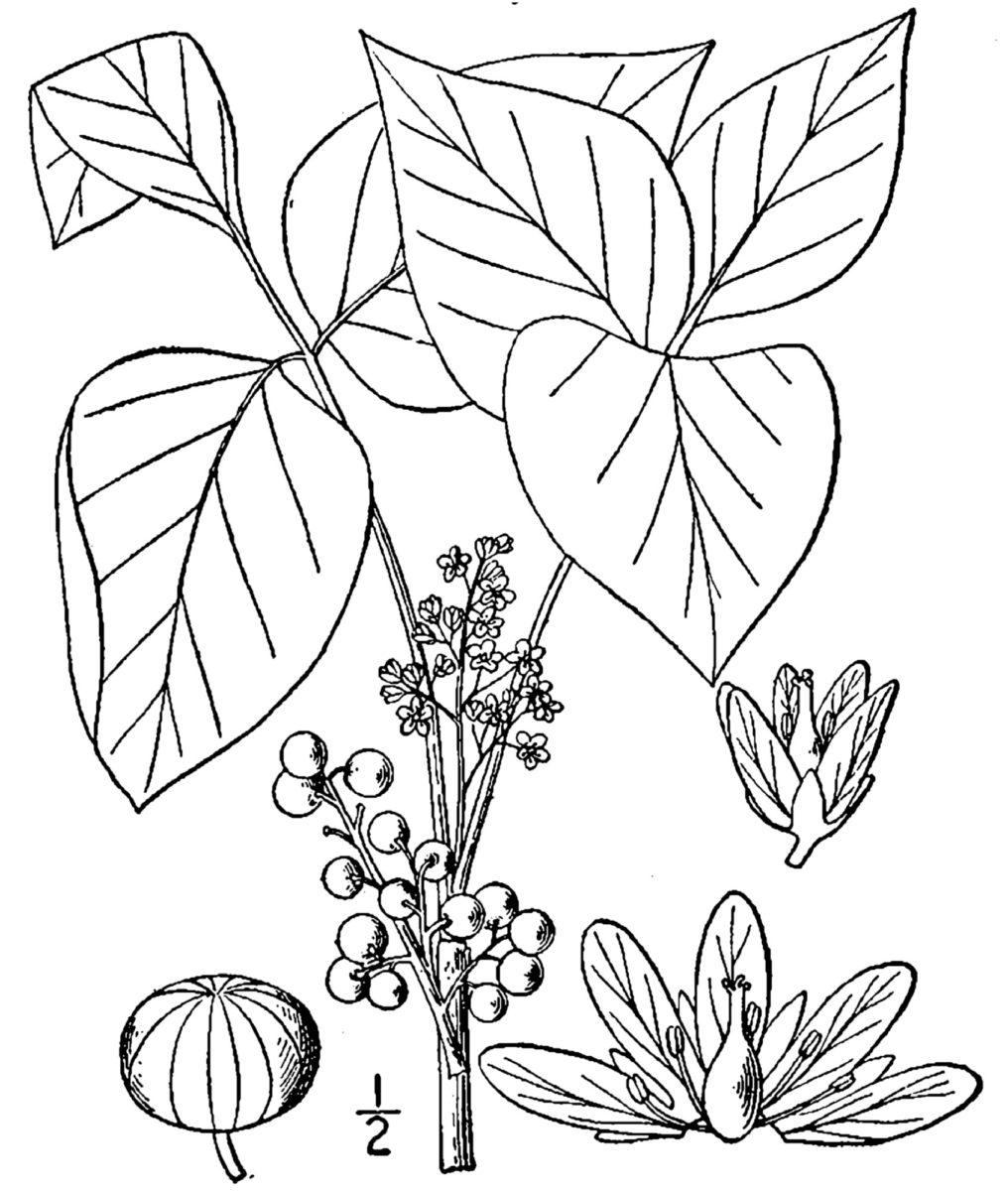 Poison Ivy Help